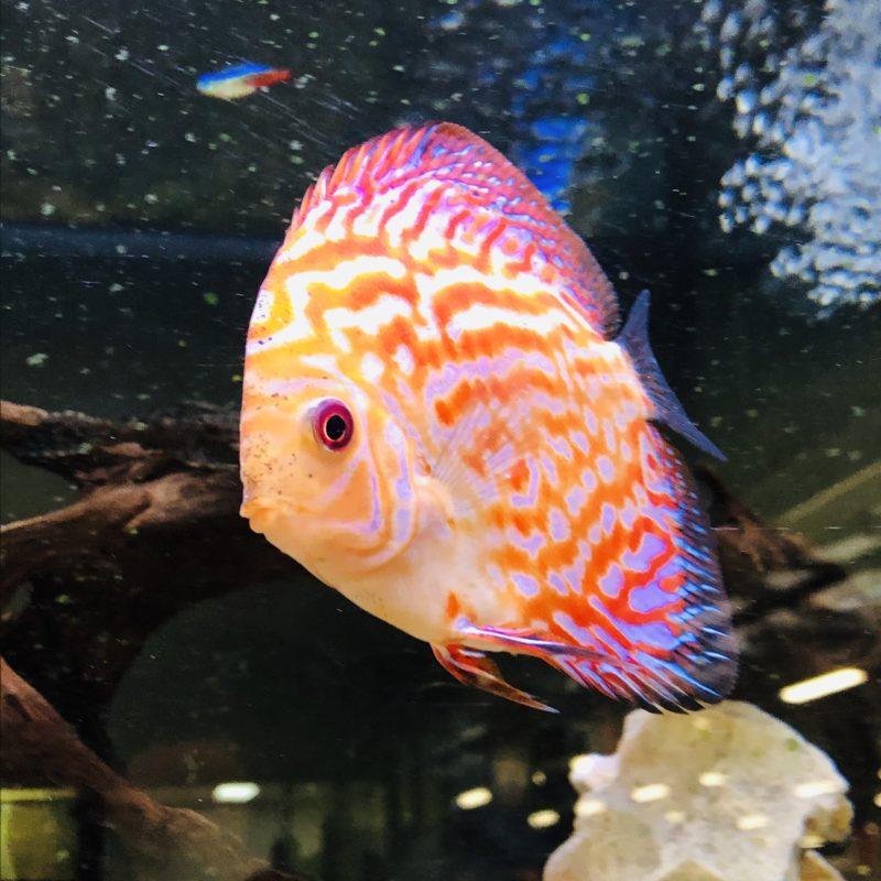 discus pesce il re dell'acquariofilia