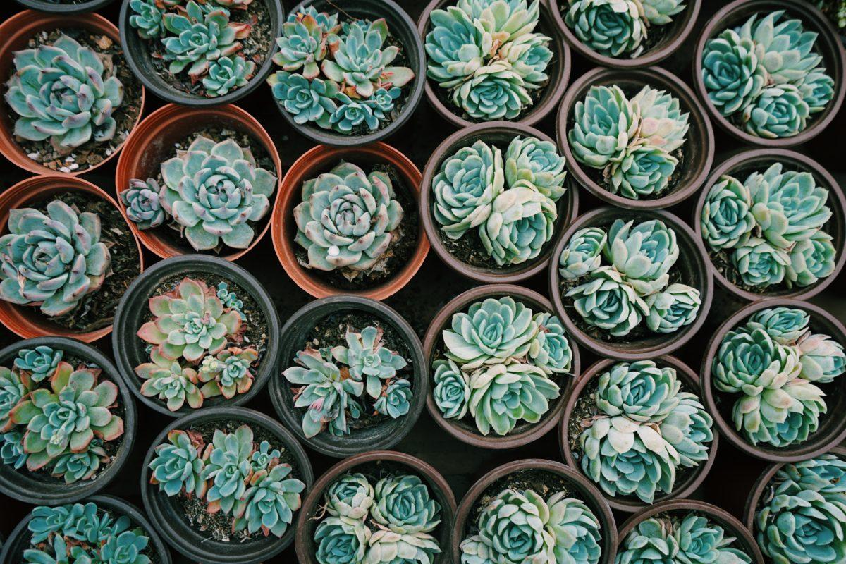 piante succulente o piante grasse da fasoli piante