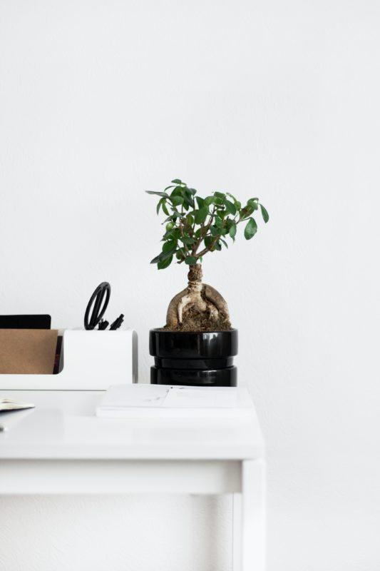 i nostri bonsai il ficus ginseng