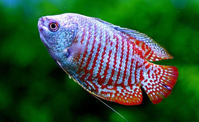 trichogaster e oranda pesci d'acquario