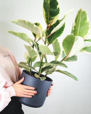 le piante che purificano l'aria e danno colore da fasoli piante