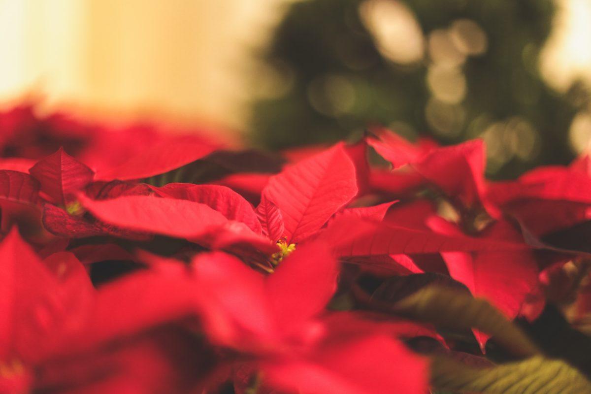 Stelle Di Natale Immagini.Regalare Una Pianta La Stella Di Natale Fasolipiante Shop