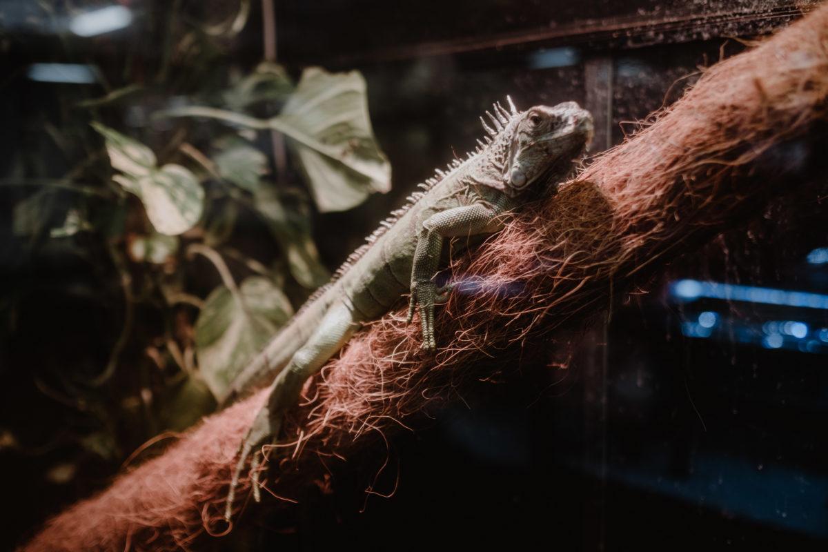 iguana domestica informazioni e consigli prima di prenderne una