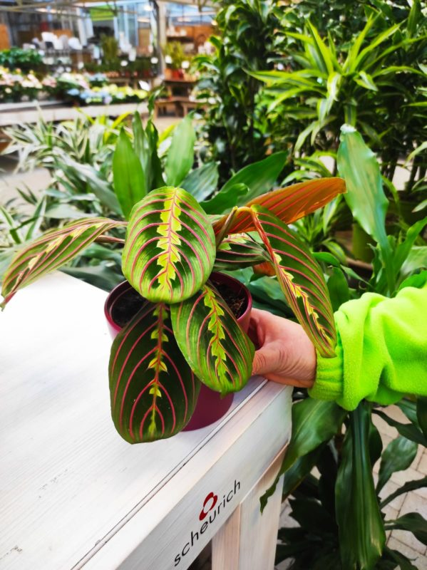 maranta e calathea piante da appartamento scopri tutti i consigli per la loro cura