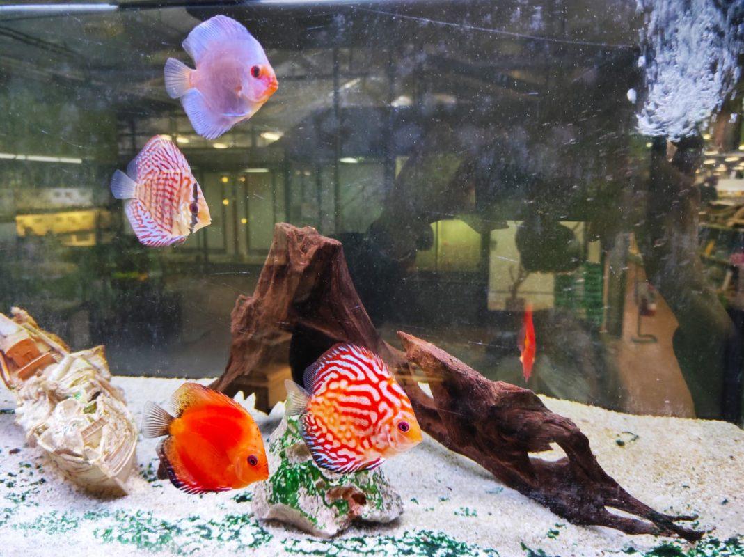 acquario per pesci d'acqua dolce a casa tua come crearlo