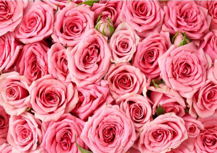 come-coltivare-rose-fasoli-piante